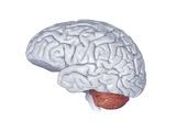 Human Brain Anatomy, Artwork Photographic Print by Henning Dalhoff