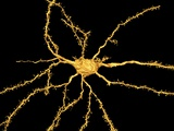 Brain Neuron Reproduction photographique par Thomas Deerinck