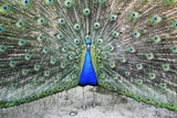 Male Peacock Displaying Photographic Print by Victor De Schwanberg