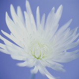 Chrysanthemum Flower Photographic Print by  Cristina