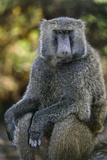 Olive Baboon Photographic Print by Tony Camacho