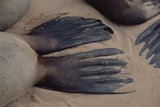 Cape Fur Seal Flippers Reprodukcja zdjęcia autor Peter Chadwick