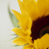 Sunflower (Helianthus Annuus) Photographic Print by  Cristina