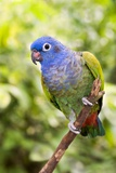 Blue-headed Parrot Photographic Print by Tony Camacho
