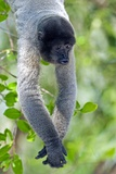 Gray Woolly Monkey Prints by Tony Camacho