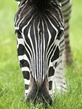 Grevy's Zebra Prints by Adrian Bicker