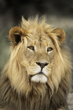 Male Lion Print by Peter Chadwick