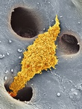 Liver Macrophage Cell, SEM Print by Thomas Deerinck