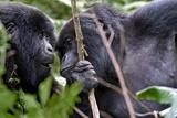 Mountain Gorillas Interacting Fotografisk tryk af Tony Camacho