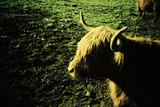 Scottish Highland Cow Posters by Kevin Curtis