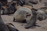Cape Fur Seal Reprodukcja zdjęcia autor Peter Chadwick