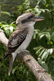 Laughing Kookaburra Photographic Print by Tony Camacho