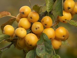 Crab Apple (Malus X Zumi) 'Golden Hornet' Posters by Adrian Bicker
