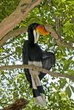 Male Rhinoceros Hornbill In a Tree Photographic Print by Tony Camacho