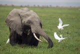 African Elephant And Cattle Egrets Photographic Print by Peter Chadwick