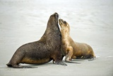 Hooker's Sea Lions Photo by Tony Camacho