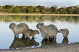 Capybara Family Photographic Print by Tony Camacho