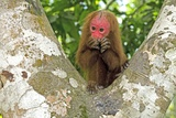 Red Bald Uakari Poster by Tony Camacho