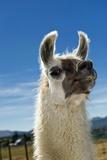 Llama Fotografisk tryk af Tony Camacho