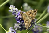 Mallow Skipper Butterfly Photographic Print by Paul Harcourt Davies