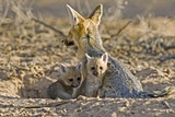 Cape Fox Mother And Young Photographic Print by Tony Camacho