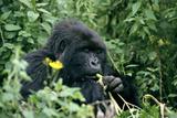 Mountain Gorilla Fotografisk tryk af Tony Camacho
