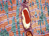 Cardiac Muscle And Capillary, TEM Premium Photographic Print by Thomas Deerinck