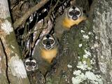 Three-striped Owl Monkeys Photographic Print by Tony Camacho