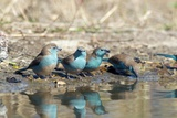 Blue Waxbills Drinking Prints by Peter Chadwick