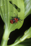 Lily Beetles Mating Photographic Print by Dr. Jeremy Burgess