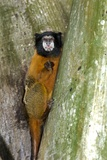 Golden-mantled Tamarin Photographic Print by Tony Camacho