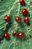 Ladybird Beetles Eating Aphids on a Nettle Leaf Print by Dr. Jeremy Burgess