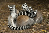 Ring-tailed Lemur Family Photographic Print by Peter Chadwick