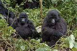 Mountain Gorillas Fotografisk tryk af Tony Camacho