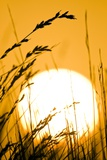 Restio Plants At Sunset Photographic Print by Peter Chadwick