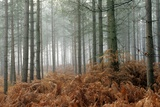 Pine Forest Photographic Print by Adrian Bicker