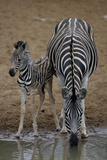 Burchell's Zebra with Foal Photographic Print by Peter Chadwick