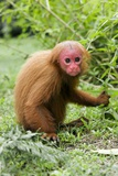 Red Bald Uakari Prints by Tony Camacho