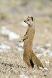 Yellow Mongoose Photographic Print by Peter Chadwick