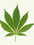 Leaf of Marijuana Plant, Cannabis Sativa Posters by Victor De Schwanberg