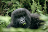 Mountain Gorilla Infant Fotografisk tryk af Tony Camacho