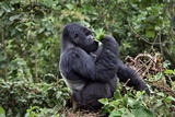 Mountain Gorilla Male Feeding Fotografisk tryk af Tony Camacho