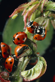 Ladybird Beetles Mating on a Rose Stem Photographic Print by Dr. Jeremy Burgess