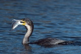 White-breasted Cormorant with Fish Photographic Print by Peter Chadwick