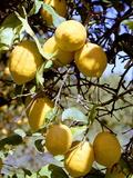 Citrons Reproduction photographique par Victor De Schwanberg
