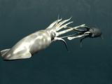 Squid Mating Fotografisk tryk af Christian Darkin