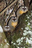 Three-striped Owl Monkeys Photographic Print by Tony Camacho