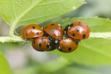 Overwintering Ladybird Aggregation Photographic Print by Dr. Jeremy Burgess