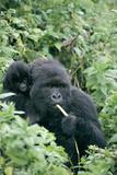Mountain Gorilla And Infant Fotografisk tryk af Tony Camacho