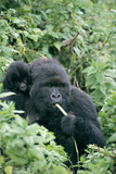 Mountain Gorilla And Infant Photographic Print by Tony Camacho